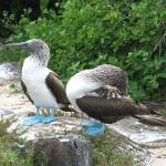"""Blue-footed Boobies"" by Natural_Imagery"