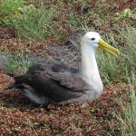 """Waved Albatross"" by Natural_Imagery"