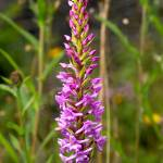 """Fragrant Orchid"" by roger"