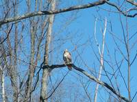 Perched Northern Harrier Hawk