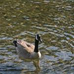 """Goose Swimming"" by cvpictures"