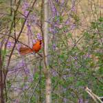 """Cardinal among the redbuds"" by teenolan"