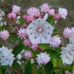 """""""Mountain Laurel in Spring"""" by teenolan"""