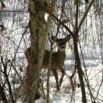 """""""Deer Baby in Snow"""" by teenolan"""