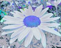 Astral Blue Daisy