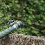 """Pied Wagtail"" by tomgnt"
