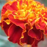 """""""Marigold"""" by kingshook"""