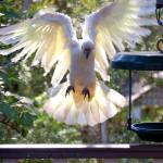 """Cockatoo landing_0574"" by gtveloce"
