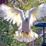 """Cockatoo landing_0573a"" by gtveloce"