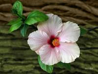 Pink Hibiscus - Hibiscus Flower In Front Of Bark