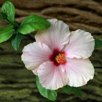 Pink Hibiscus - Hibiscus Flower In Front Of Bark Art Prints & Posters by Ilan Mizrahi