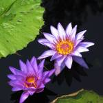"""Purple Waterlily IMG_0009A"" by jeffgriffin"