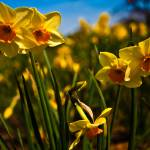 """Yellow Daffodils"" by DCPhotography"