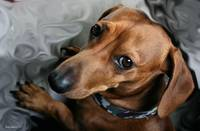Turbo the Dachshund