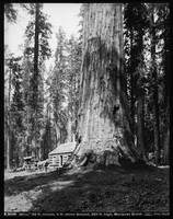 Mariposa Grove, Ohio Tree, Sierra Nevada by WorldWide Archive