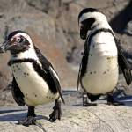 """African Penguins at Mystic Aquarium, Mystic, CT"" by PinakiC"