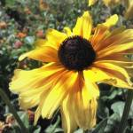 """Black-eyed Susan"" by toddblanchard"