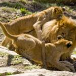 """Columbus Lion Cubs wrestle with Dad"" by artistslight"