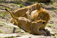 Columbus Lion Cubs wrestle with Dad