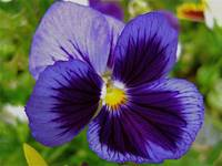 Majestic Purple Pansy