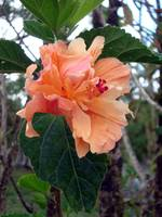 056_Peach_Colored_flower_1