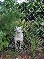 061_Dog_and_Fence