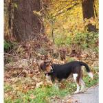 """""""Beagle on Country Road"""" by TamIshArt"""