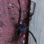 """Redback Spider"" by Colin_Ewington"