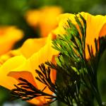 """California Poppy"" by DCPhotography"