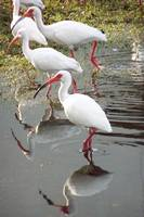 March of the Ibis