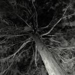 """Evergreen Tree Black and White"" by zbtwells"