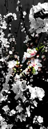 Cherry Blossoms  52409