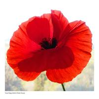 POPPY BY TOM MALONE