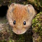 """Bank Vole"" by roger"