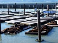 San Fran.: Sunbathing Seals