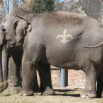 """Who Dat Elephants, New Orleans Zoo, Saints, IMG_49"" by stephaniemaria2001"
