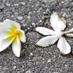 """""""Plumeria Flowers. Brisbane, Australia."""" by mariog"""