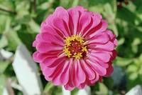 White Picket Zinnia