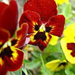 """Red Pansies"" by garlanddunston"