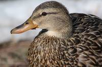 Female mallard duck .................