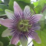"""passion flower"" by MPMPatrick"
