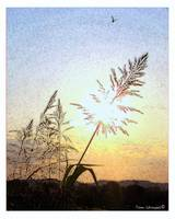 Wildgrass at sunset
