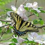 """Springtime Butterfly"" by Lorraine_Sommer"