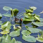 """Among the Lilypads"" by Lorraine_Sommer"