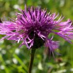 """Greater Knapweed"" by roger"