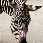 """""""zebra"""" by BarryJohansen"""