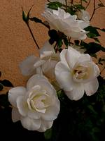 4 White Rose with Buds