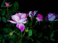 5 Pink Roses in the Dark.