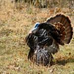 """""""Struttin Turkey"""" by Lorraine_Sommer"""