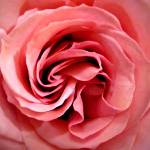 """""""Pink for the cure"""" by amymillerphotos"""